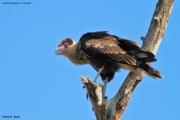 Caracara_plancus010.Juv.Pantanal.Brazylia13.11.2013