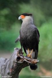 Caracara_plancus011.Pantanal.Brazylia.16.11.2013
