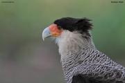 Caracara_plancus013.Pantanal.Brazylia.19.11.2013