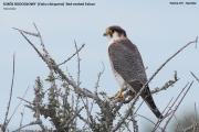 096.056.Falco_chicquera0001.Etosha_N.P.Namibia.21.02.2014