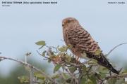 096.031.Falco_rupicoloides0001.Etosha_N.P.Namibia.21.02.2014