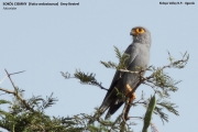 096.042.Falco_ardosiaceus001.Kidapo_Valley_N.P.Uganda.13.11.2012