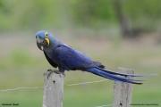 Anodorhynchus_hiacinthinus002.Arraras_Lodge.Pantanal.18.11.2013