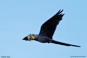 Anodorhynchus_hiacinthinus003.Arraras_Lodge.Pantanal.17.11.2013
