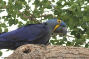 Anodorhynchus_hiacinthinus004.Arraras_Lodge.Pantanal.18.11.2013