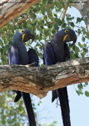 Anodorhynchus_hiacinthinus005.Arraras_Lodge.Pantanal.19.11.2013