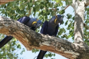 Anodorhynchus_hiacinthinus006.Arraras_Lodge.Pantanal.19.11.2013