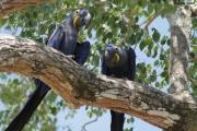 Anodorhynchus_hiacinthinus007.Arraras_Lodge.Pantanal.19.11.2013
