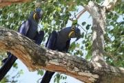 Anodorhynchus_hiacinthinus008.Arraras_Lodge.Pantanal.19.11.2013