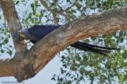 Anodorhynchus_hiacinthinus009.Arraras_Lodge.Pantanal.19.11.2013