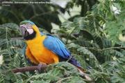 099.146.Ara_ararauna001.Arraras_Lodge.Pantanal.Brazylia.18.11.2013