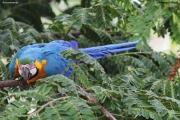 Ara_ararauna002.Arraras_Lodge.Pantanal.Brazylia.18.11.2013