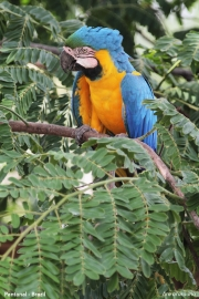 Ara_ararauna004.Arraras_Lodge.Pantanal.Brazylia.18.11.2013