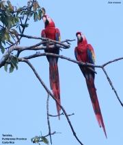 Ara_macao002.Tarcoles.Costa_Rica.28.11.2015