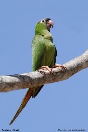 Thectocerus_acuticaudatus002.Pantanal.Brazylia.19.11.2013