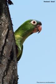 Thectocerus_acuticaudatus003.Pantanal.Brazylia.19.11.2013