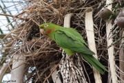 Psittacara_leucophtalmus003.Pantanal.Brazylia.15.11.2013