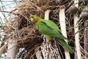Psittacara_leucophtalmus004.Pantanal.Brazylia.15.11.2013