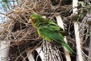 Psittacara_leucophtalmus005.Pantanal.Brazylia.15.11.2013