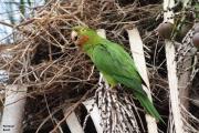 Psittacara_leucophtalmus006.Pantanal.Brazylia.15.11.2013