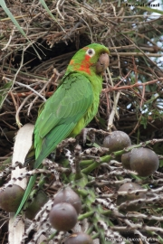 Psittacara_leucophtalmus007.Pantanal.Brazylia.15.11.2013