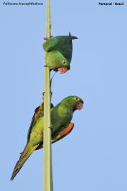 Psittacara_leucophtalmus009.Pantanal.Brazylia.17.11.2013