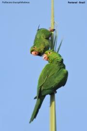 Psittacara_leucophtalmus010.Pantanal.Brazylia.17.11.2013