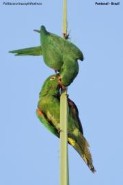 Psittacara_leucophtalmus012.Pantanal.Brazylia.17.11.2013