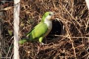 Myiopsitta_monachus003.Pantanal.Brazylia.17.11.2013