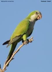 Myiopsitta_monachus005.Pantanal.Brazylia.14.11.2013