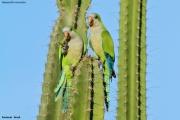 Myiopsitta_monachus006.Pantanal.Brazylia.14.11.2013