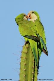 Myiopsitta_monachus009.Pantanal.Brazylia.14.11.2013