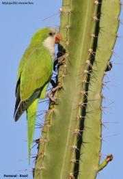 Myiopsitta_monachus010.Pantanal.Brazylia.14.11.2013