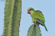 Myiopsitta_monachus013.Pantanal.Brazylia.19.11.2013