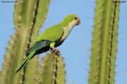 Myiopsitta_monachus014.Pantanal.Brazylia.14.11.2013