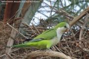099.026.Myiopsitta_monachus001.Pantanal.Brazylia.14.11.2013