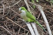 Myiopsitta_monachus002.Pantanal.Brazylia.16.11.2013