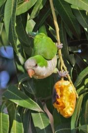 Myiopsitta_monachus004.Pantanal.Brazylia.10.11.2013