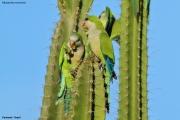 Myiopsitta_monachus007.Pantanal.Brazylia.14.11.2013