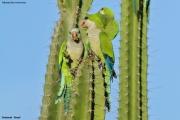 Myiopsitta_monachus008.Pantanal.Brazylia.14.11.2013