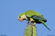 Myiopsitta_monachus011.Pantanal.Brazylia.14.11.2013