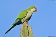 Myiopsitta_monachus012.Pantanal.Brazylia.14.11.2013