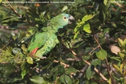 099.079.Amazona_aestiva001.Pantanal.Brazylia.18.11.2013