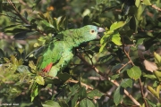 Amazona_aestiva002.Pantanal.Brazylia.18.11.2013
