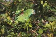 Amazona_aestiva003.Pantanal.Brazylia.18.11.2013