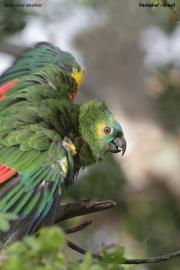 Amazona_aestiva005.Pantanal.Brazylia.18.11.2013