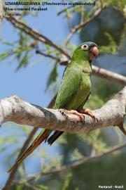 099.158.Thectocerus_acuticaudatus001.Pantanal.Brazylia.19.11.2013