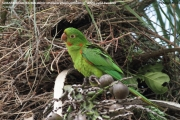 099.160.Psittacara_leucophtalmus0003.Pantanal.Brazylia.15.11.2013