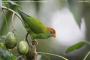 00.168.Loriculus_beryllinus001.Kitulgala.Sri_Lanka.8.12.2018