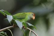 Loriculus_beryllinus002.Kitulgala.Sri_Lanka.8.12.2018